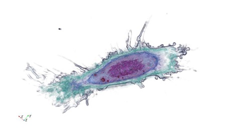 Mouse reticular fibroblast imaged with the 3D Cell Explorer
